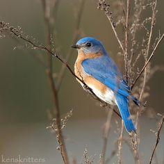 Bird | Bluebirds signify Spring & Happiness | Cinderella's best friend