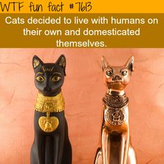 They're actually not even considered fully domesticated yet as a whole. -looks at my cat- Pretty sure mine is, though.