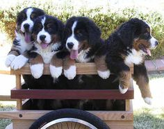 Sapphires Bernese Mountain Dogs, an Arizona Breeder of Champion Bernese Mountain Dogs, Carol Arbuthnot