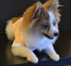 Your pup will look casual but fly in these striped Polo shirts. Orange/White…