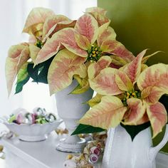 Marbled poinsettias, cut and arranged one or two stems per vessel, bring holiday cheer to a collection of white pottery