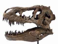 T-Rex Skull Cast, South Dakota, Late Cretaceous #inlarariastudio #inspo #fossil