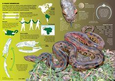 La anaconda es la serpiente más voluminosa, pesada y poderosa del planeta. Posee unos 10.000 músculos y una fuerza de constricción de 6,5 kilos por
