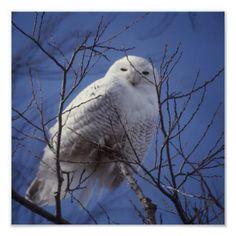 Snowy Owl - White Bird against a Sapphire Blue Sky poster  #DianeClancy