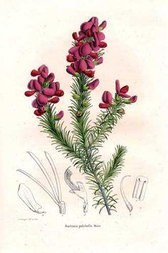 Leguminosae - Burtonia scabra - Burtonia pulchella. From: Annales de la Société royale d'Agriculture et de Botanique de Gand, Journal d'horticulture by Charles Morren (editor).