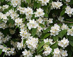 Philadelphus common name Mock Orange easy to grow deciduous shrub