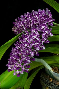 Orchid: Rhynchostylis gigantea 'Spot' - Species from Southeast Asia Grown by Greg Corrales