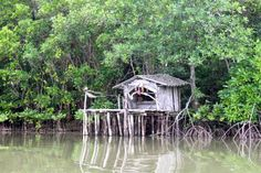Mangroves more Carbon Rich and Important for Climate Change Carbon Sink, Mangrove Forest, Capacity Building, Climate Change, Habitats, Cabin, House Styles, Landscapes, Image