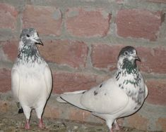 Pakistani Tippler pigeon - also known as Pakistan Highflyer, Pakistan Highflying Tippler - is a variety originating from Pakistan, Pakistani Pigeon, Tumbler Pigeons, Pigeon Breeds, Homing Pigeons, Poultry Farming, Pigeon Bird, Birds, Party, Animals
