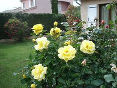 Photo of the rose 'Friesia ' Rose Photos, Flowers, Plants, Florals, Plant, Flower, Bloemen, Planting, Planets