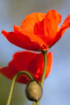 Funny Wildlife, Poppies by evb-photography on Flickr. Poppy Photography, Glass Photography, Art Floral, Gras, Flower Wallpaper, Red Poppies, Embroidered Flowers, Pansies, Belle Photo