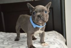 Solid Blue French Bulldog Puppies For Sale Cheap French Bulldog