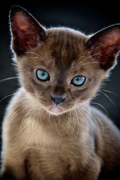 "trem-das-cores: "" ""Opal-eyed Kitten"" by Renee Hubbard Fine Art Photography Pretty Cats, Beautiful Cats, Animals Beautiful, Pretty Kitty, Cute Kittens, Cats And Kittens, Fluffy Kittens, Ragdoll Kittens, Baby Animals"