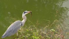 Grey Heron with its prey a frog at Naledi. - May 15 2016 - Grey Heron, Swallow, Wildlife, African, Animals, Animales, Animaux, Swallows, Animal