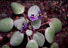 saintpaulia flower by Alextree, via Flickr - Wild African violet, taken in the East Usambara mountains, Tanzania