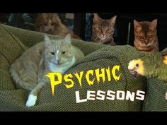 Psychic Lessons -- Cat Clips #287 - http://dailyfunnypets.com/videos/cats/psychic-lessons-cat-clips-287/ - In this episode: While Honey attempts to help the visiting parrot develop his psychic powers, Tipi and Tuck discuss a possible Honeymoon. A special thanks to George & Valerie Copping for... - &, cat, cats, clips, cute, funny, humor, kitten, kittens, pets, phunny, very, video, videos