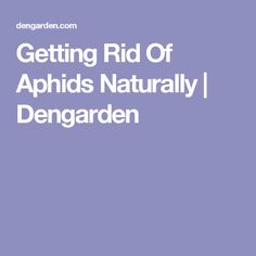 Getting Rid Of Aphids Naturally | Dengarden