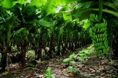 En las regiones donde prospera, es muy agradable tenerlo plantado en tu propio hogar..