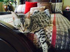 Bengal Cats, Gadgets, Animals, Animales, Animaux, Animal, Animais, Gadget