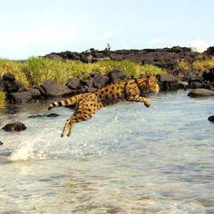 Savannah Cats - Breeder - Select Exotics