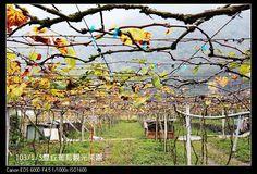 [南投] 信義 豐丘葡萄觀光果園