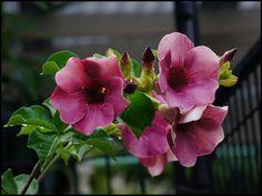 Portal Multiflora: Allamanda blanchetti
