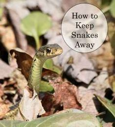 Have a problem getting rid of snakes? Learn how to keep snakes out of your yard. Here are different things you can do to make your yard and garden an unappealing habitat for snakes. Snake Repellant, Insect Repellent, Get Rid Of Groundhogs, Keep Snakes Away, Bug Juice, Garden Solutions, Yard Care, Weed Control, Garden Pictures