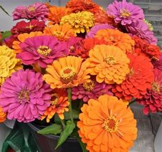 Zinnias bloom throughout the summer.