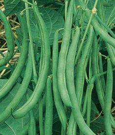 How To Grow Green Beans | Veggie Gardener