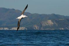 Antipodean albatross   New Zealand Birds Online