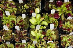 Repot carnivorous plants