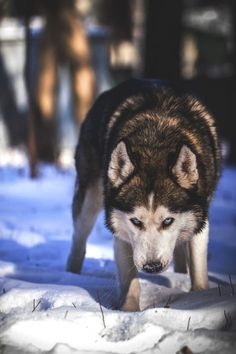 Siberian Husky is looking trace in the winter. Beautiful Dogs, Animals Beautiful, Beautiful Wolves, Baby Animals, Cute Animals, Wild Animals, Wolf Husky, Snow Dogs, Lovely Creatures