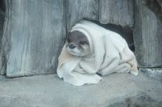 Otter カワウソ真知子巻き