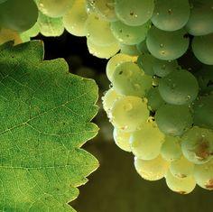 Os vamos a presentar las variedades con las que se elaboran los vinos de Viñas del Vero, empezando por la #Chardonnay.  Es una cepa que se adapta a diferentes suelos y climas. Aunque sensible a heladas y a enfermedades típicas del viñedo, es vigorosa, de brotación y maduración temprana, con buena capacidad de riqueza en azúcar.