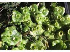 Korstmossen zijn samenlevingsvormen (symbiose)  van algen of cyanobacteriën (blauwwieren) met een schimmel. http://www.blwg.nl/mossen/korstmossen/korstmossen_voor_beginners/korstmossen_voor_beginners.aspx