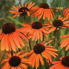 'Orange Luxury' Coneflower Gone are the days when coneflowers came just in purple! Today there's a wealth owhich Echinacea 'Orange Luxury' Growing conditions: Full sun and well-drained soil Size: To 5 feet tall and 2 feet wide Z
