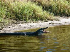 a gator grabbed his prey right in front of us at Myakka River State Park in FL and chomped it down. You could hear the bones crunch! http://whereseldo.blogspot.com