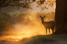 Red Deer in the mist