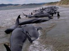 """If you can count 615 dead dolphins, you can be sure there are a great many more out at sea and the total will reach into the thousands."" Hardy Jones, head of conservation group, Blue Voice.org, said in a statement after he and Carlos Llanos, an expert with ORCA Peru walked the beaches. The veterinarian said, ""we have no definitive evidence,"" yet he suspects acoustic testing created a ""marine bubble""; in essence a sonic blast that led to internal bleeding, loss of equilibrium and…"