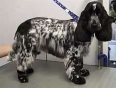 Image result for how to cut cocker spaniel hair on tail