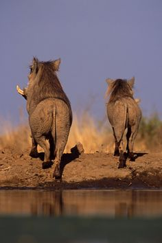 Heading out into the bush - two warthogs (could they be humming Hakuna Matata . Reptiles, Mammals, African Animals, African Safari, African Elephant, Beautiful Creatures, Animals Beautiful, South Africa Wildlife, Safari Animals