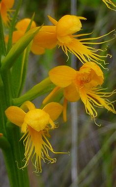 Crested Fringed Orchid (Platanthera cristata) – native to North America - Beautiful Flowers Strange Flowers, Unusual Flowers, Rare Flowers, Amazing Flowers, Beautiful Flowers, Unusual Plants, Rare Plants, Exotic Plants, Cool Plants