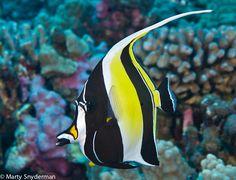 Commonly seen in Hawaii, a Moorish idol cruises over a coral garden. Saltwater Tank, Saltwater Aquarium, Aquarium Fish Tank, Under The Ocean, Sea And Ocean, Colorful Fish, Tropical Fish, Image Of Fish, Salt Water Fish