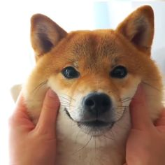 Fluffy face i can do this all day lolYou can find Shiba inu and more on our website.Fluffy face i can do this all day lol Akita Puppies, Akita Dog, Cute Dogs And Puppies, Baby Dogs, Shiba Puppy, Lab Puppies, Pet Dogs, Cute Funny Animals, Cute Baby Animals