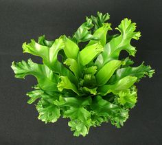 "Asplenium 'Leslie' is a beautiful new birds nest fern introduction ideal for 4"" pots. The bowl or basket shaped fronds have wazy margins and as the plant matures the ends of the fronds become branched or ""fingered"" forming a very distinct look. Compared to A. 'Crissie', 'Leslie' is more compact and overall a much smaller fern."