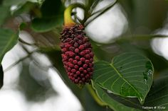 Male flowers of Hura crepitans, the sandbox tree | Hura crep… | Flickr - Photo Sharing!
