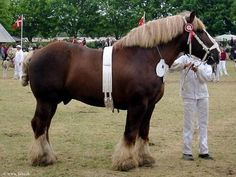 Dutch Draft Horse | Found on theequinest.com