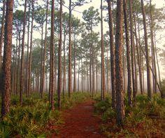 Longleaf Pines at Grayton Beach State Park in Northwest Florida