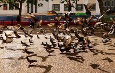 Pigeon, Factors, Auction, Racing, Running, Auto Racing