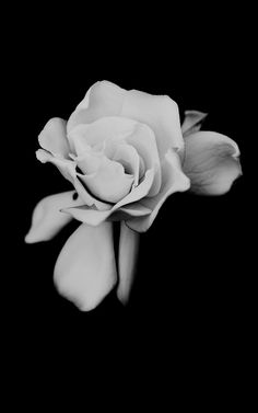 Gardenia, black  white photo.